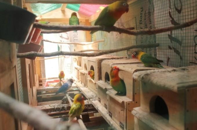 Hasil gambar untuk kandang lovebird untuk perjodohan