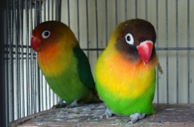 Hasil gambar untuk lovebird hijau green series