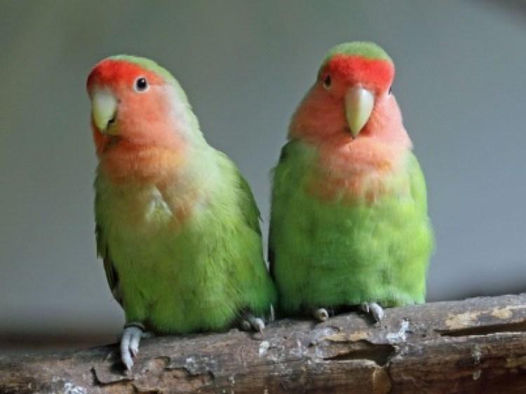 Hasil gambar untuk lovebird mahal