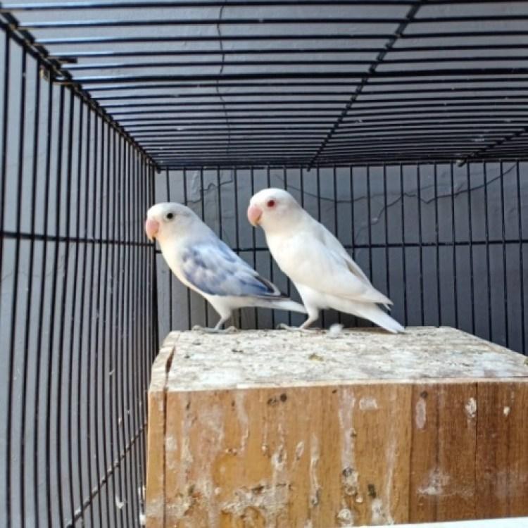 Hasil gambar untuk lovebird putih