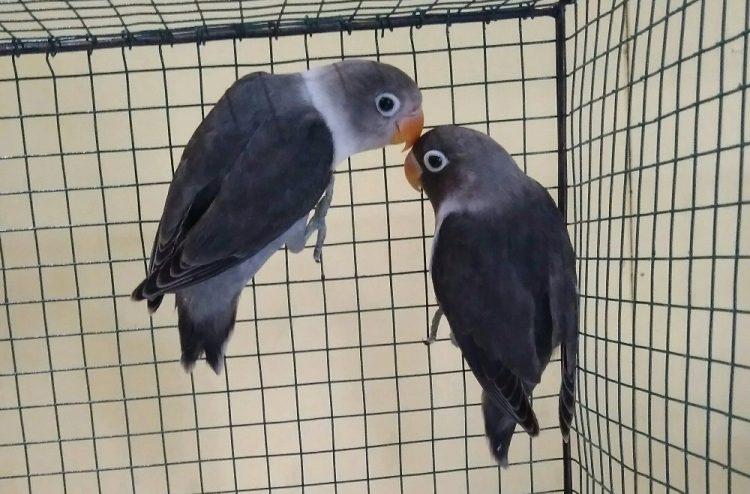 cara merawat lovebird anakan batman