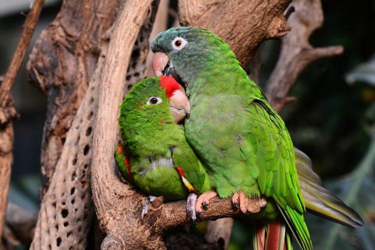 9 Jenis Perbedaan Lovebird Jantan Dan Betina Dilihat Dari Fisiknya