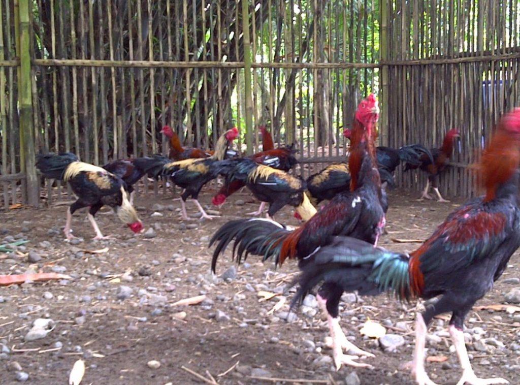 5 Cara Merawat Ayam Bangkok Terpercaya Menghasilkan Ayam Juara