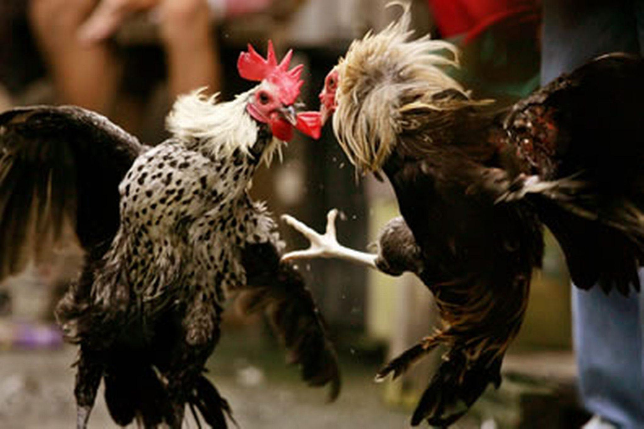 4 Teknik Melatih Ayam Bangkok Aduan (Mutu Pemenang)