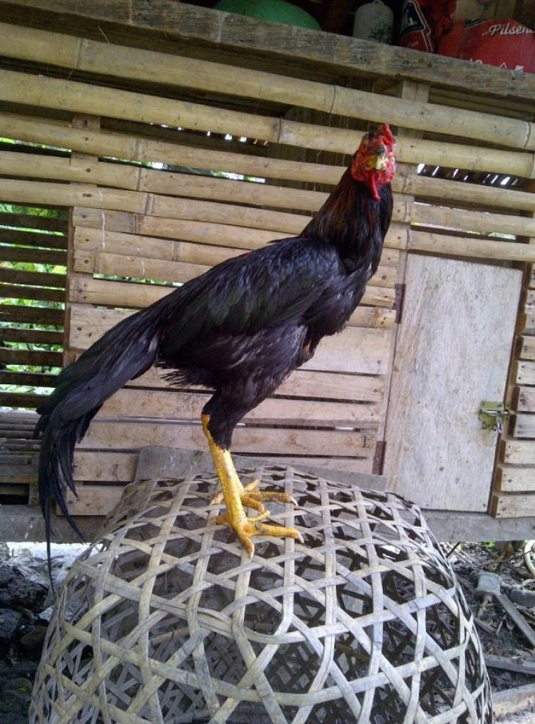 cara merawat ayam bangkok aduan