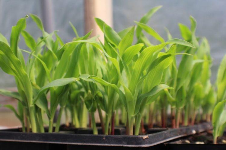 cara menanam bibit jagung