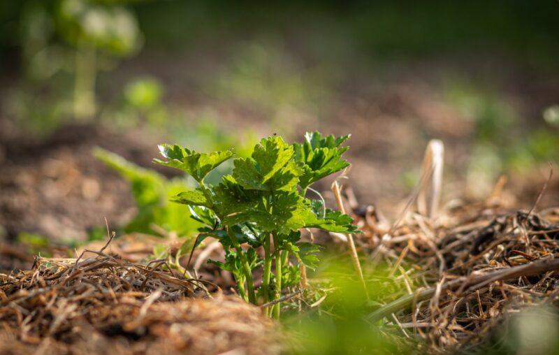 cara menanam seledri agar tumbuh subur