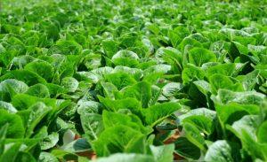 greenhouse-agriculture-leaf-vegetable-cash-crop-crop-romaine-lettuce-1447847-pxhere.com.jpg