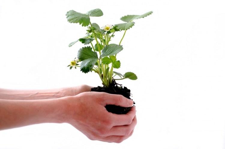 cara menanam strawberry agar cepat berbuah