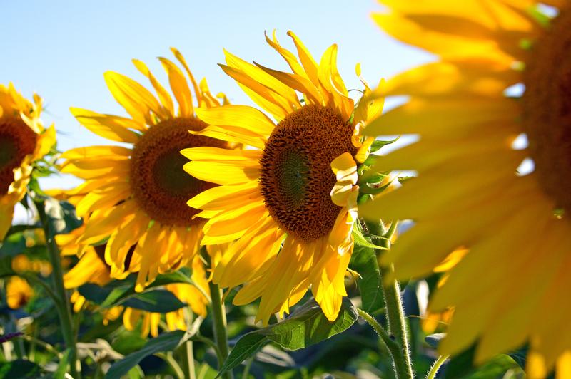 cara menanam bunga matahari di pot