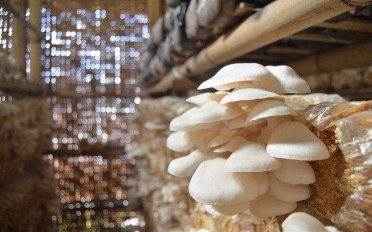bibit jamur tiram