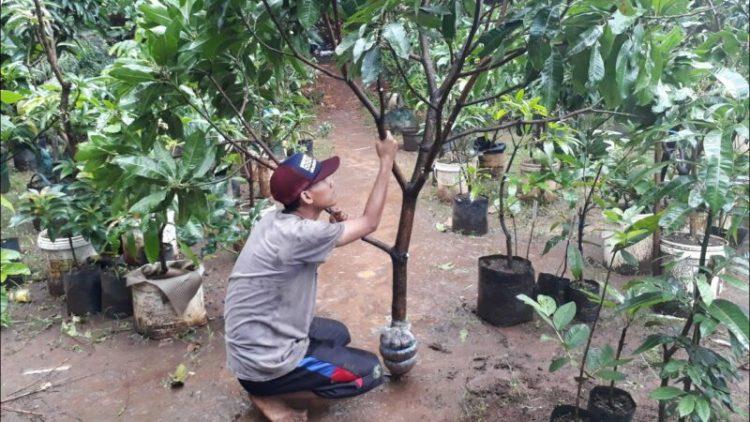 cara mencangkok tanaman jeruk