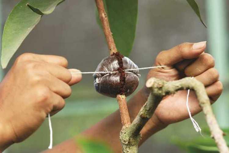 cara mencangkok tanaman aglaonema