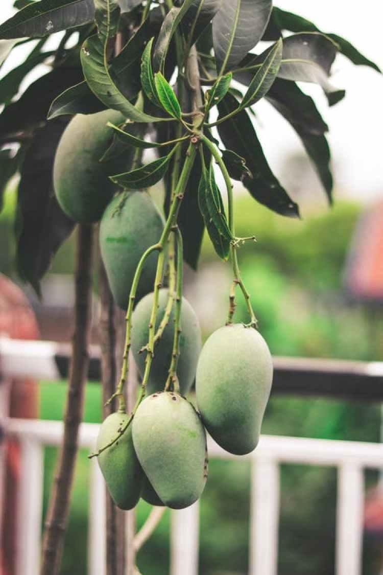 cara mencangkok tanaman mangga