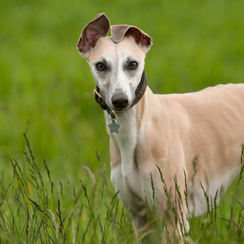 Hampstead Hounds Dog Walking Service