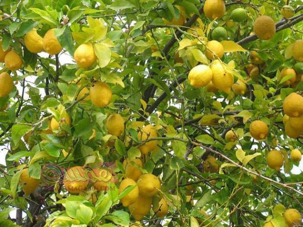 how-to-take-care-of-lemon-tree-w800-h600