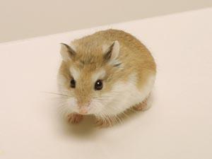 「roborohusuki-ハムスター」の画像検索結果