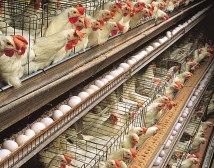 Massentierhaltung ist Tierquälerei und muss verboten werden. Wir setzen uns dafür ein.