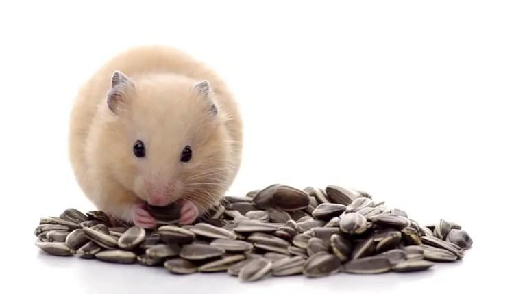 Kết quả hình ảnh cho Can Hamsters Eat Sunflower Seeds
