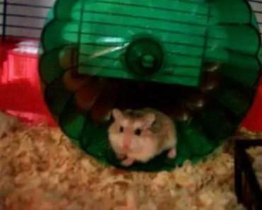 funny hamster - 1506402984 funny hamster