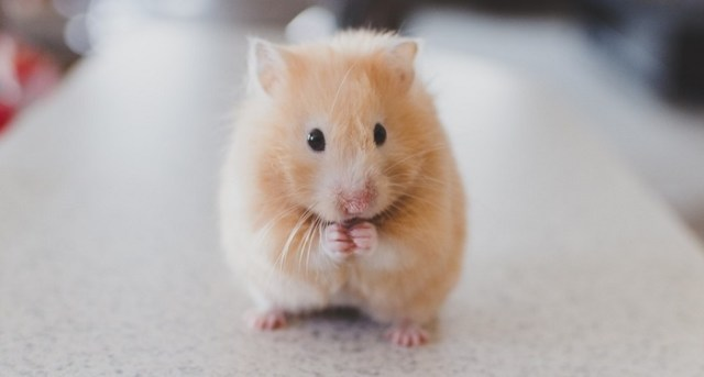 Can Hamsters Eat Cheese? 1