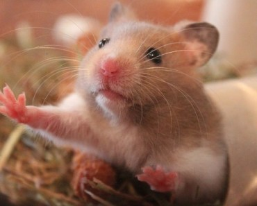 Can-Hamsters-Eat-Crackers