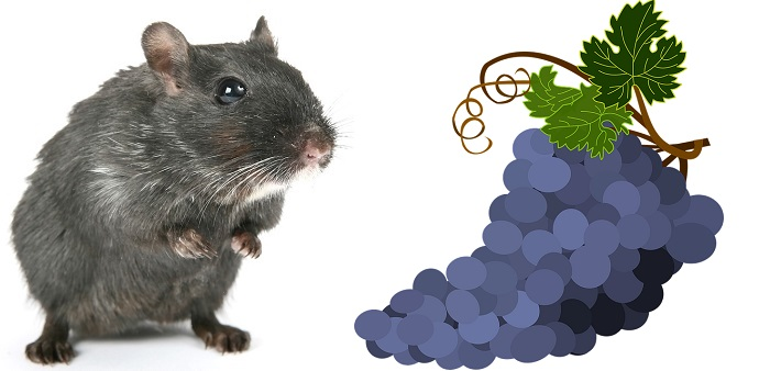 Can-Hamsters-Eat-Grapes