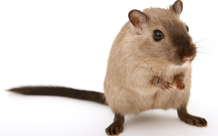 What Food Can Syrian Hamsters Eat
