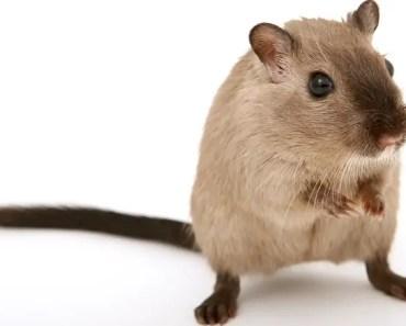 Can Hamsters Eat Rice? - Can Hamsters Eat Rice