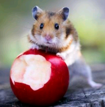 Hamster_And_Apple