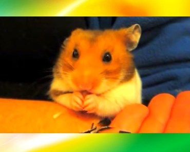 Cute Adorable Hamster Eating Sunflower Seeds, Crack Sound Biscuit Funny ! - cute adorable hamster eating sunflower seeds crack sound biscuit funny