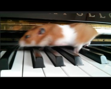 Cute Hamster Doing Funny Things on the Piano (sorry, not eating popcorn) - cute hamster doing funny things on the piano sorry not eating popcorn
