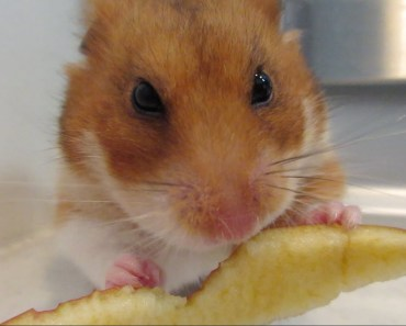 Cute Hamster Eating Apple & Doing Funny Things - cute hamster eating apple doing funny things