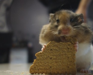 Cute Hamster eats a Cookie in a funny way - cute hamster eats a cookie in a funny way