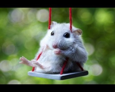 Cute Hamsters Doing Funny Things - Funny Animal Videos - cute hamsters doing funny things funny animal videos