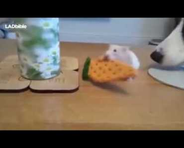 Dog stole the cookie from hamster Funny Videos 2016 - dog stole the cookie from hamster funny videos 2016