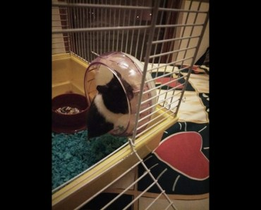 Funny animal moments: Syrian hamster fail wheeling - funny animal moments syrian hamster fail wheeling
