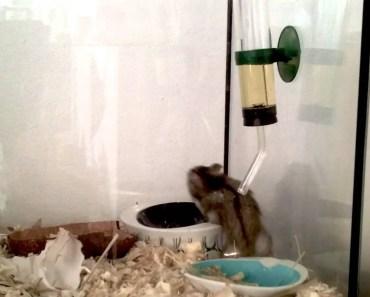 Funny Dwarf Hamster stunt - funny dwarf hamster stunt