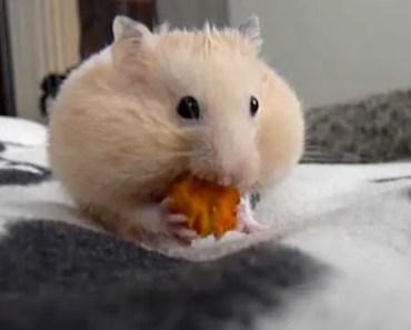 Funny hamster-carrot eater - funny hamster carrot eater