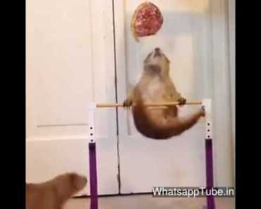 Funny Hamster dance ft major lazer - funny hamster dance ft major lazer