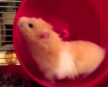 Funny Hamster - Dances the Dance of the Hours - funny hamster dances the dance of the hours