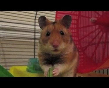 Funny Hamster does a dramatic face (Criceto drammatico) - funny hamster does a dramatic face criceto drammatico