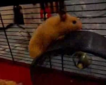 Funny hamster runs on top of his wheel - funny hamster runs on top of his wheel