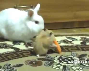 Funny Hamsters Compilation! - funny hamsters compilation