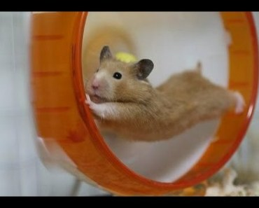 Funny hamsters in wheel videos - Funny animals compilation 2016 - funny hamsters in wheel videos funny animals compilation 2016