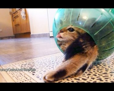 Funny Kitten Stuck in the Middle of Hamster Ball - funny kitten stuck in the middle of hamster ball