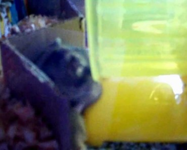 [Funny] Mother Hamster Tries Hard To Get Her Pup Back Home - funny mother hamster tries hard to get her pup back home