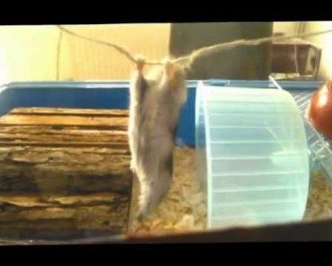 Funny Pet Hamster - funny pet hamster