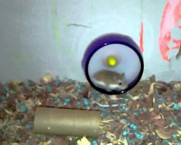 Funny robo dwarf hamster on a wheel of death - funny robo dwarf hamster on a wheel of death