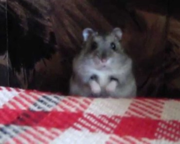 Funny Siberian Hamster playing - funny siberian hamster playing